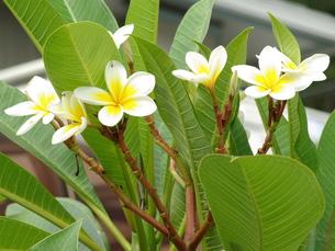 プルメリアの花の写真素材 [FYI00243699]