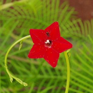 縷紅草(ルコウソウ)の写真素材 [FYI00243719]