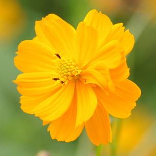 キバナコスモス 八重 オレンジ色の写真素材 [FYI00243720]