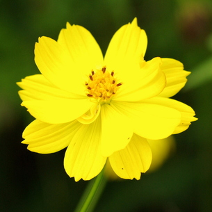 キバナコスモス 八重 黄色の写真素材 [FYI00243723]