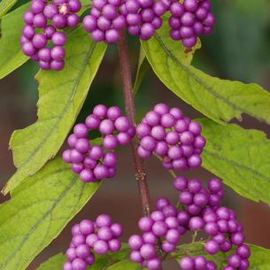 小紫(コムラサキ)の実 アップの写真素材 [FYI00243731]