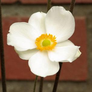 秋明菊(シュウメイギク) 白の写真素材 [FYI00243734]