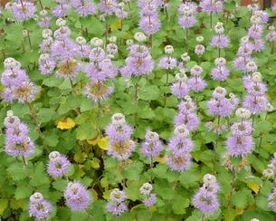 段菊(ダンギク) 薄紫 群生の写真素材 [FYI00243757]