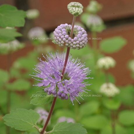 段菊(ダンギク) 薄紫の写真素材 [FYI00243770]