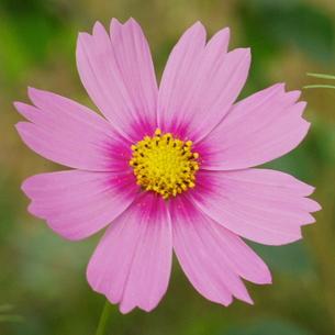 コスモス ピンク 濃い芯の写真素材 [FYI00243814]