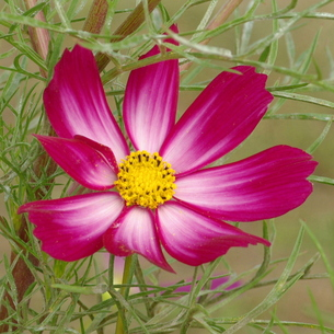 コスモス 赤紫に白い芯の写真素材 [FYI00243816]