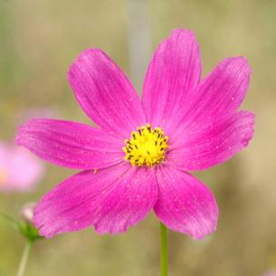 コスモス 赤紫濃淡2の写真素材 [FYI00243822]