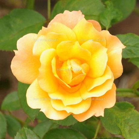 薔薇(バラ) アンネのバラの素材 [FYI00243825]