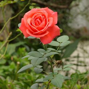 薔薇(バラ) 緋色の写真素材 [FYI00243839]