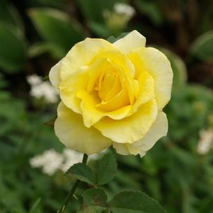 薔薇(バラ) 薄い黄色の写真素材 [FYI00243841]