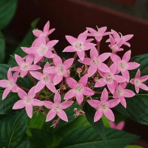 ペンタスの花 ピンクの写真素材 [FYI00243845]