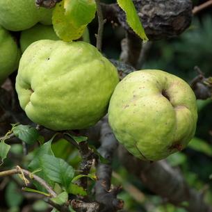 木瓜(ボケ)の実の写真素材 [FYI00243847]