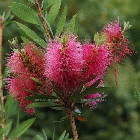 ブラシの木の花 ピンクの写真素材 [FYI00243849]