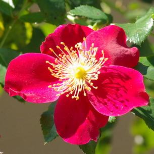 薔薇(バラ) サラバンドの写真素材 [FYI00243852]