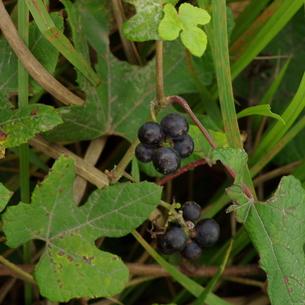 山葡萄(ヤマブドウ、小本山葡萄:Taiwan Wild Grape)の写真素材 [FYI00243882]