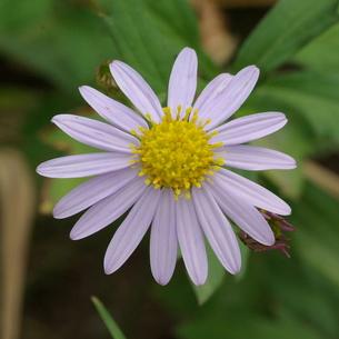 野紺菊(ノコンギク) 薄い薄い紫の写真素材 [FYI00243885]