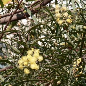 アカシア・レティノデスの花の写真素材 [FYI00243895]