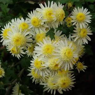 中菊(チュウギク) 黄色いポンポン芯に白い花弁の写真素材 [FYI00243977]