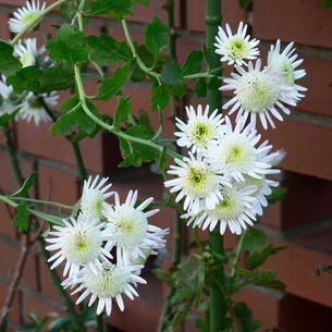 中菊(チュウギク) 白いポンポン芯に花弁の写真素材 [FYI00243979]