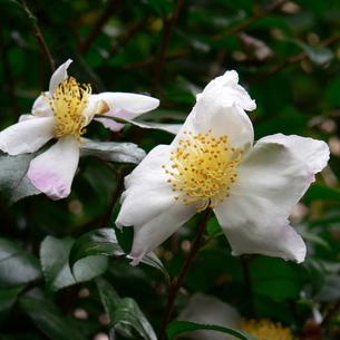 山茶花(サザンカ)の花 一重 ほぼ白の写真素材 [FYI00243987]