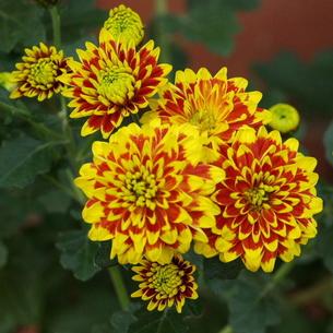 中菊(チュウギク) ポンポン咲き 臙脂に黄色の写真素材 [FYI00243991]