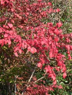 錦木(ニシキギ)の紅葉の写真素材 [FYI00244000]