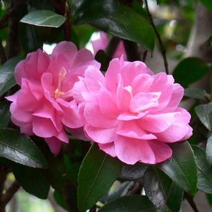 山茶花(サザンカ)の花 八重 薄紅色 アップの写真素材 [FYI00244008]