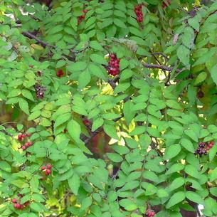 山椒(サンショウ)の赤い実と黒い種の写真素材 [FYI00244009]