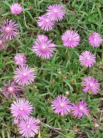 松葉菊(マツバギク)の花の素材 [FYI00244022]