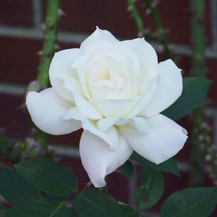 薔薇(バラ) 極く淡いピンクの写真素材 [FYI00244051]