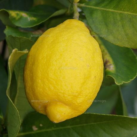檸檬(レモン)の実の素材 [FYI00244090]