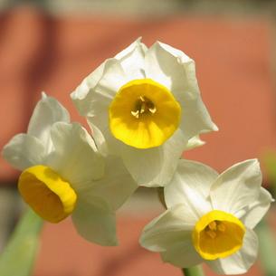 日本水仙(ニホンズイセン)の花 中アップの写真素材 [FYI00244123]