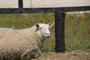 羊の笑顔の素材 [FYI00244188]
