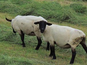 振り向く羊の素材 [FYI00244192]