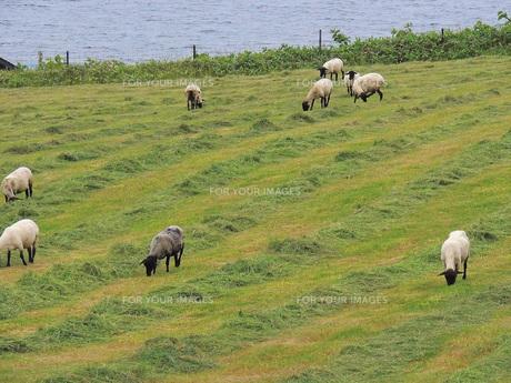 海と羊牧場の素材 [FYI00244195]