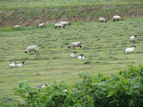 羊牧場④の素材 [FYI00244199]