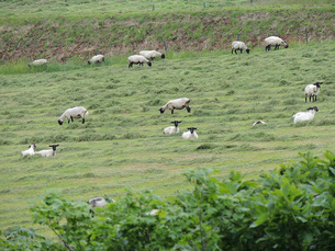 羊牧場④の写真素材 [FYI00244199]