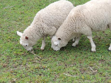 子羊①の素材 [FYI00244200]