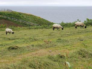 海と羊牧場の素材 [FYI00244201]