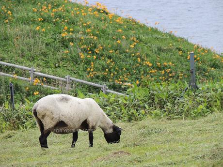 ゆりと羊の素材 [FYI00244203]