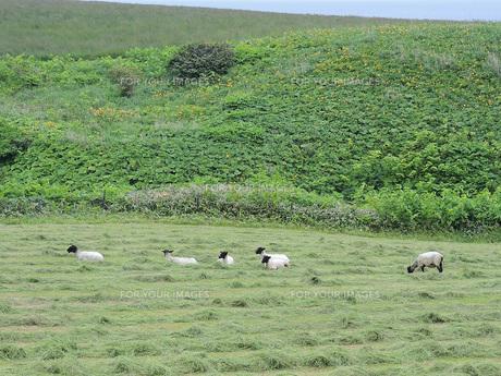 羊牧場③の素材 [FYI00244206]