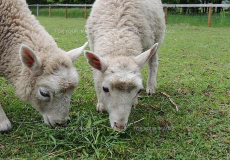 子羊②の素材 [FYI00244207]