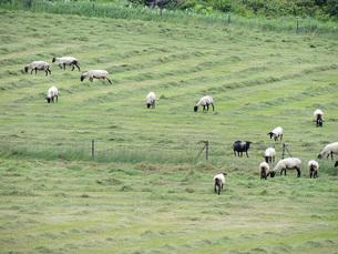 羊牧場②の素材 [FYI00244208]