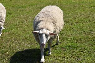 近寄る羊の素材 [FYI00244209]