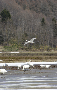 残雪と白鳥①の写真素材 [FYI00244211]