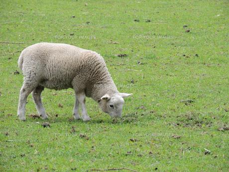 子羊③の素材 [FYI00244215]
