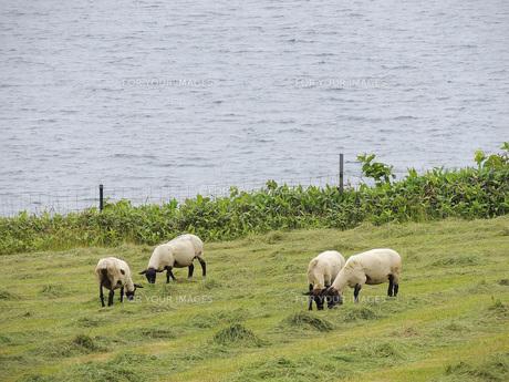 海と羊牧場②の素材 [FYI00244219]