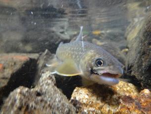 岩魚の写真素材 [FYI00244336]