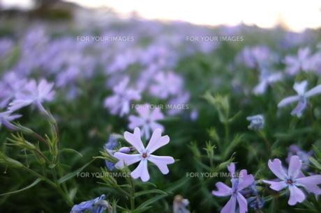 芝桜の素材 [FYI00244374]