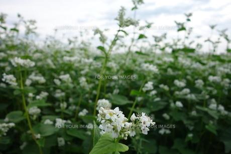 蕎麦の花の素材 [FYI00244376]